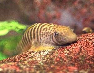 Pseudogastromyzon fasciatus