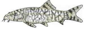 Botiine, long slim body - reticulated
