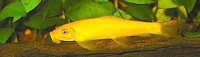 Gyrinocheilus aymonieri - Golden
