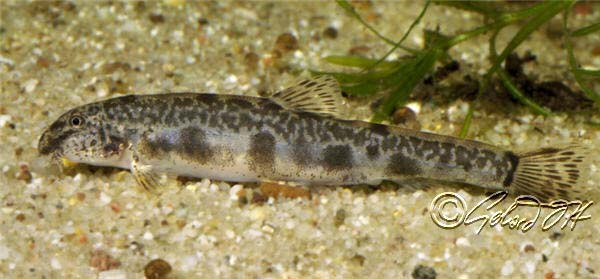 Spined loach