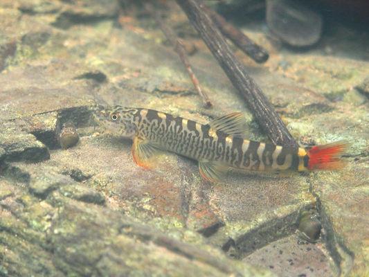 Schistura cf. mahnerti - shot in habitat, Dongwe River, Western Thailand