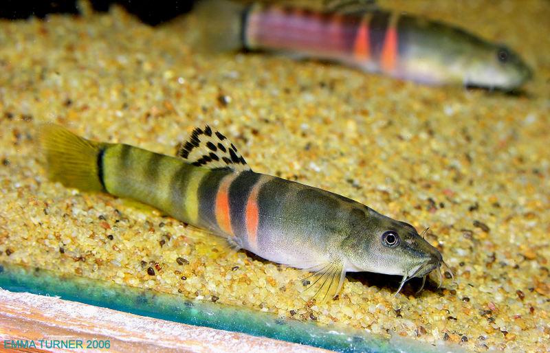 Schistura cf. balteata - Yellow striped