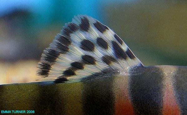 Schistura cf. balteata - Dorsal closeup