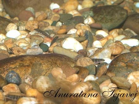 Schistura nicholsi - tank-born specimens