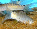 Syncrossus helodes actively burrowing in the substrate
