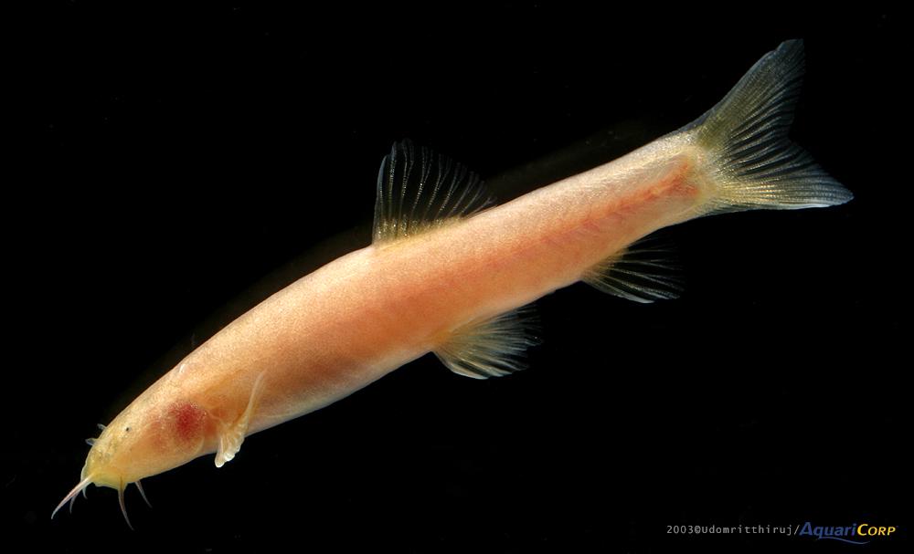 Schistura oedipus
