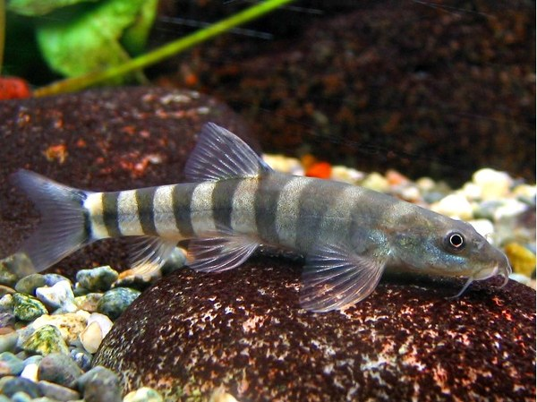 Schistura unknown01 loaches online for Loach fish types