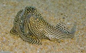 Sewellia lineolata - two males fighting