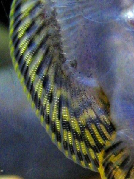 Sewellia lineolata - Closeup of underside pectoral spines