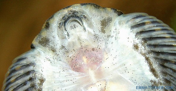 Sewellia lineolata - Mouth detail