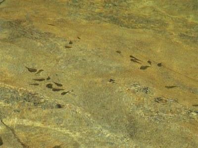 Sewellia lineolata, groups in natural stream.