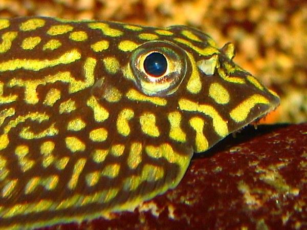 Sewellia lineolata -Head closeup