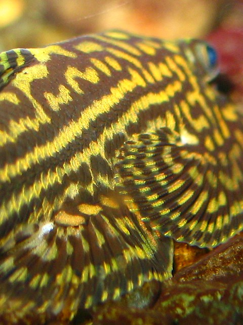 Sewellia lineolata -closeup