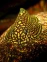 Sewellia lineolata - female