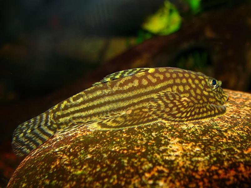 Sewellia lineolata - male