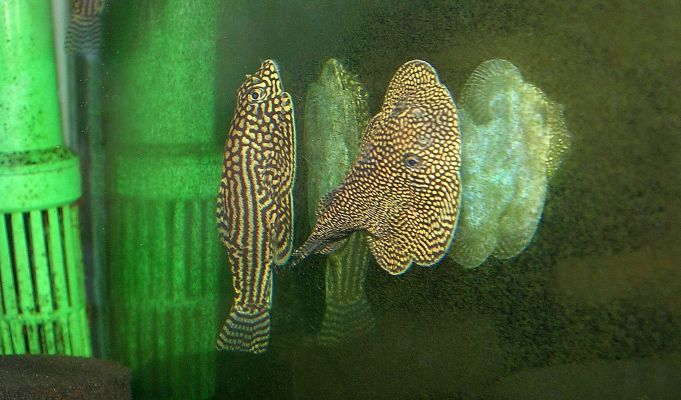 """Sewellia sp. """"spotted"""" and S. lineolata"""