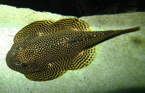 Sewellia sp spotted closeup loaches online for Loach fish types