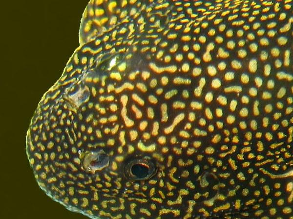 """Sewellia sp. """"spotted"""" - head closeup"""