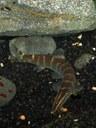 Sinibotia pulchra