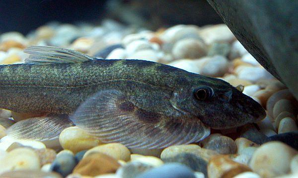 Sinogastromyzon wui - Head closeup