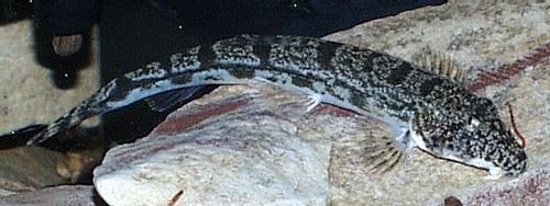 Somileptis gongota