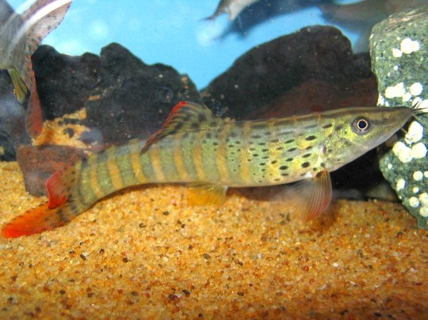 syncrossus berdmorei loaches online