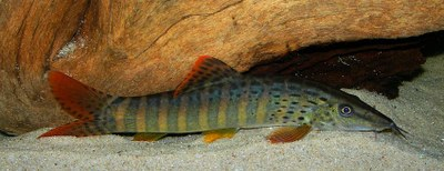 Syncrossus berdmorei