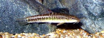 Traccatichthys pulcher
