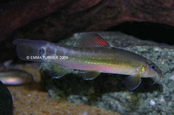 Traccatichthys taeniatus