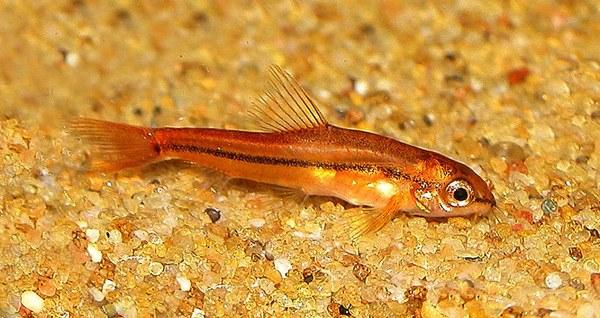 Tuberoschistura arakanensis - Newly imported Male