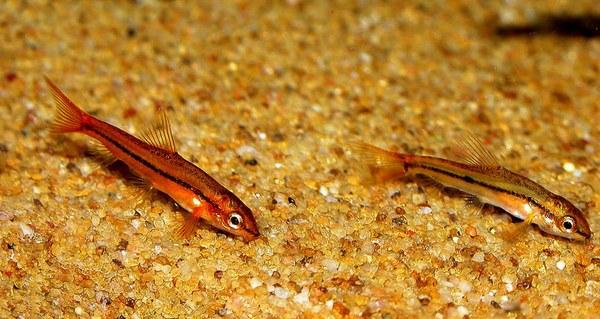 Tuberoschistura arakanensis -Newly imported pair