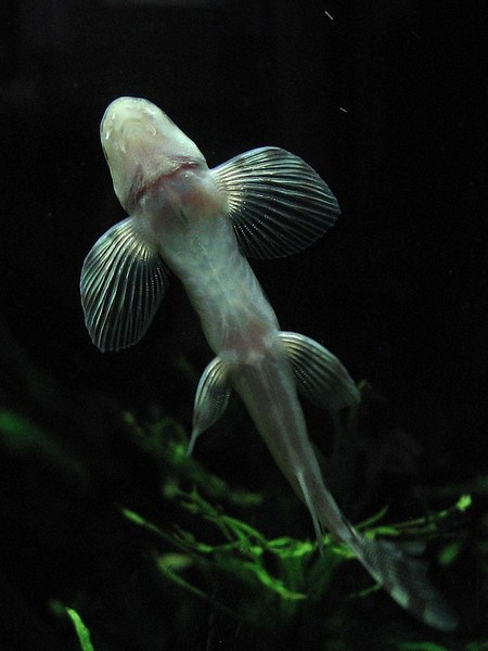 Vanmanenia hainanensis - underside.