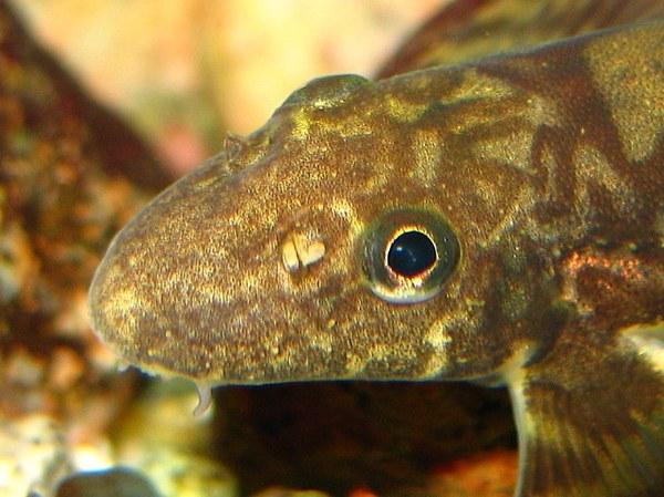 Vanmanenia hainanensis - Head closeup