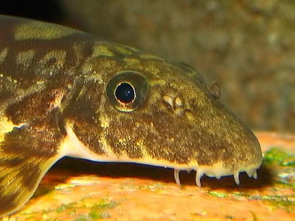 Vanmanenia hainanensis - closeup