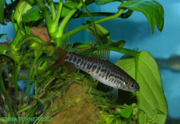 Yunnanilus brevis - female
