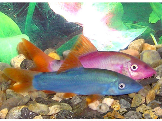 Yasuhikotakia modesta - if you see dyed fish, pick a different fish store - for good