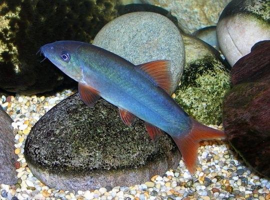 Yasuhikotakia modesta