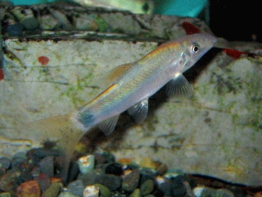 Yasuhikotakia caudipunctata, juvenile