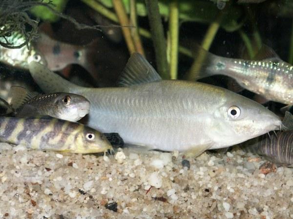 Yasuhikotakia caudipunctata - Female