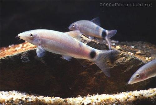 Yasuhikotakia caudipunctata