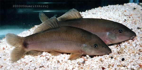 Yasuhikotakia eos - Large adults