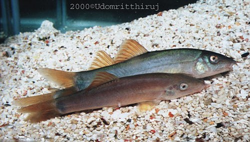 Yasuhikotakia lecontei - Two of the red-finned version
