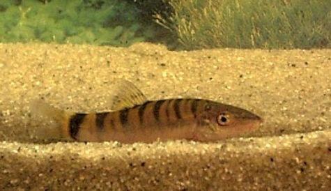 Yasuhikotakia lecontei -Striped youngster