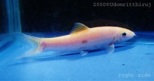 Yasuhikotakia lecontei - Xanthic morph.