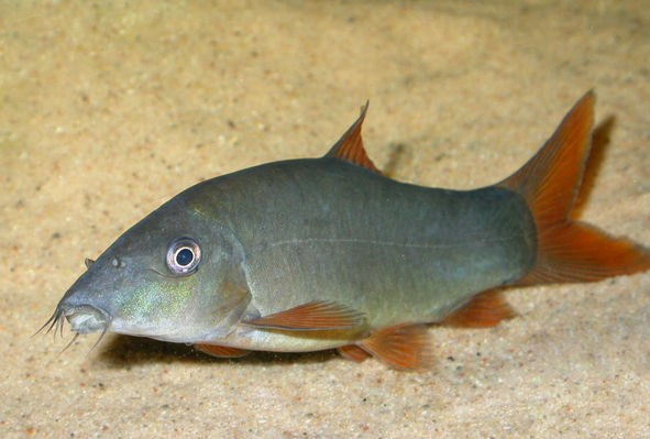Similar to: Yellow-finned populations can be mistaken for ...