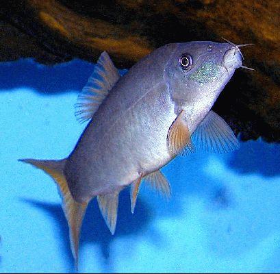 Yasuhikotakia modesta for Loach fish types
