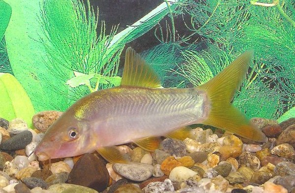Yasuhikotakia modesta, with yellow fins
