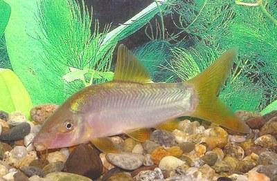 Yasuhikotakia modesta, with yellow fins
