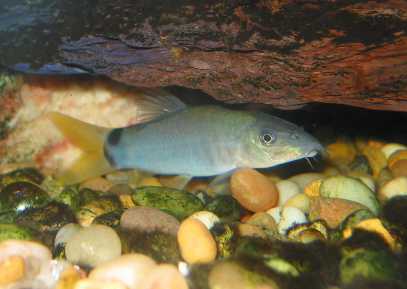 Yasuhikotakia modesta - Yellow finned specimen