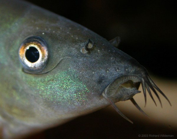 Yasuhikotakia modesta - Closeup of mouth
